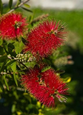 CALLISTEMON RIGIDUS 3L POT