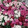 DIANTHUS FESTIVAL 20 PACK (SWEET WILLIAM)