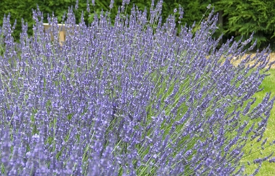 LAVANDULA SUSSEX 3L