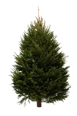 NORWAY SPRUCE 120 to 150CM or 4 to 5 FT