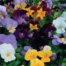 PANSY MIXED COLOURS