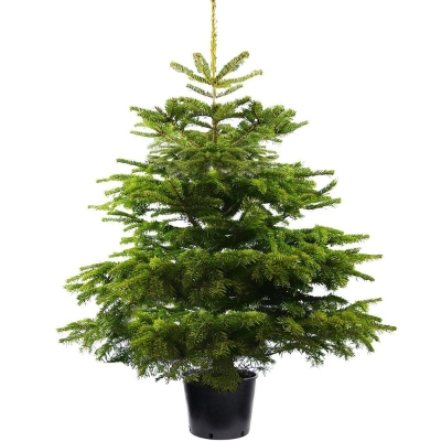 POT GROWN NORDMAN FIR