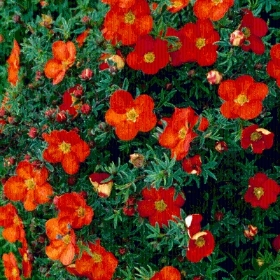 POTENTILLA 3L VARIOUS COLOURS