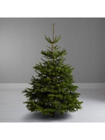 NORDMANN FIR 90 to 120CM or 3 to 4FT