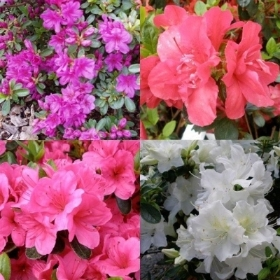 AZALEA EVERGREEN MIX 7L