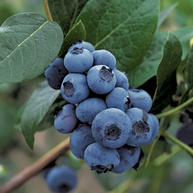 BLUEBERRY MIX