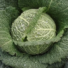 CABBAGE TRAY