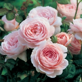DAVID AUSTIN QUEEN OF SWEDEN ROSE