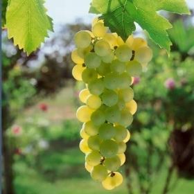 GRAPE VINE MIXED VARIETIES 3L