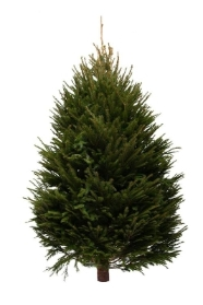 NORWAY SPRUCE 210 to 240CM or 7 to 8 FT
