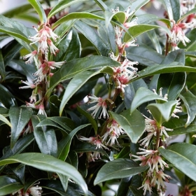 SARCOCOCCA WINTER GEM 2L