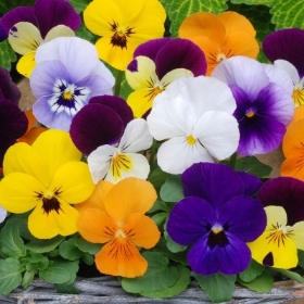 VIOLA MIXED 6 PACK OR 20 PACK